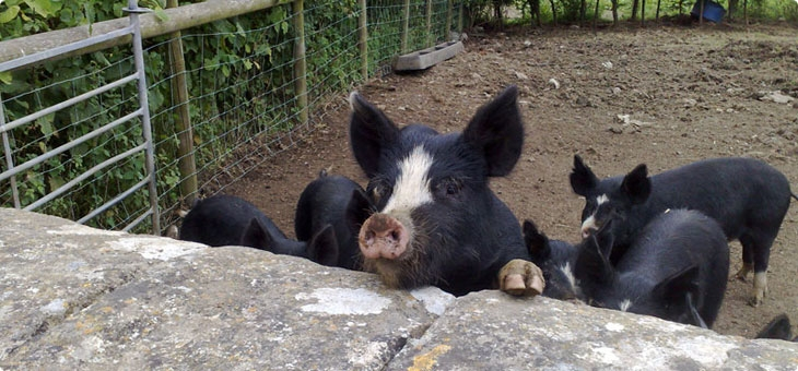 Organic Pork